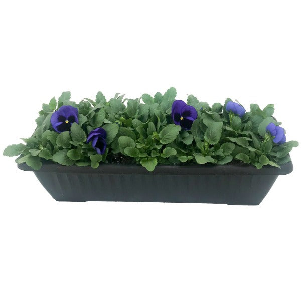 Pansy, Window Box, Assorted