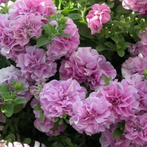 Petunia 'Double Pink Diamond'