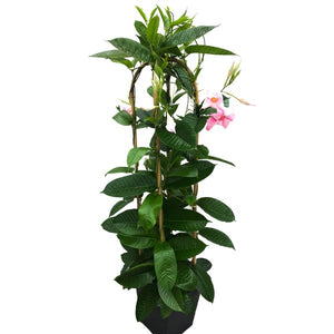 Mandevilla 'Giant Dark Pink', With 4ft Trellis