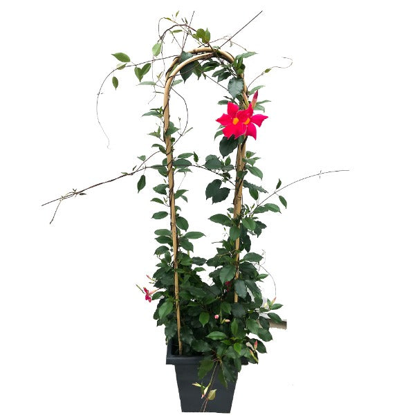 Mandevilla 'Pretty Deep Pink', With 4ft Trellis