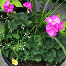 Load image into Gallery viewer, Geranium Mixed Sun Planter, 12""