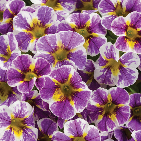 Calibrachoa Holy Smokes,  Colour Paradise, Kitchener Waterloo