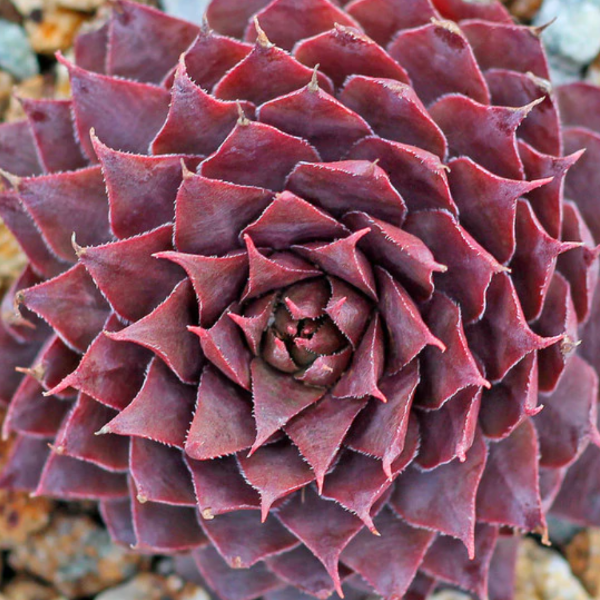Sempervivum Red Beauty, Colour Paradise, Kitchener Waterloo