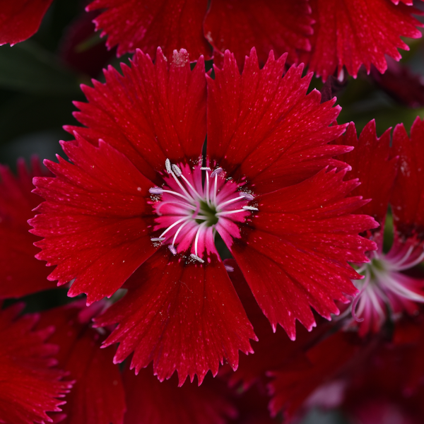 Dianthus 'Red'