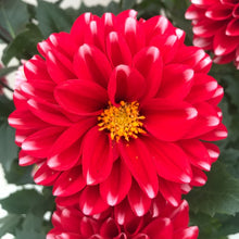 Load image into Gallery viewer, Dahlia venti Red White, Colour Paradise, Kitchener Waterloo