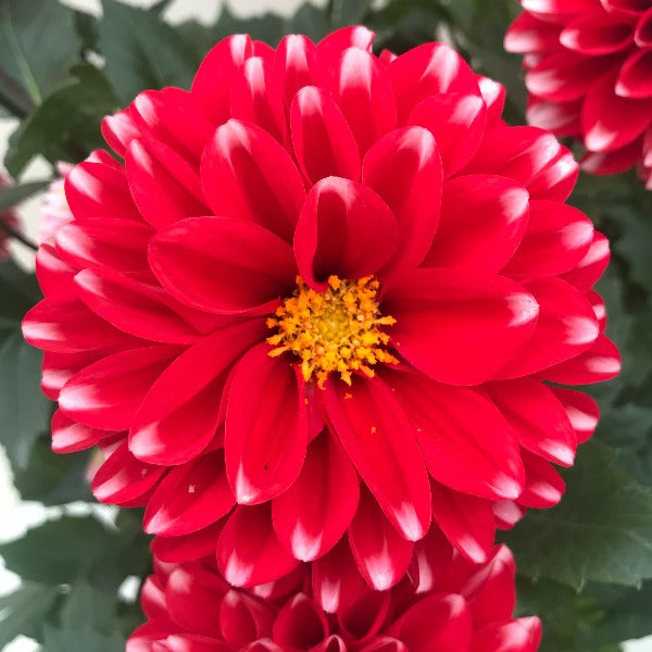 Dahlia venti Red White, Colour Paradise, Kitchener Waterloo