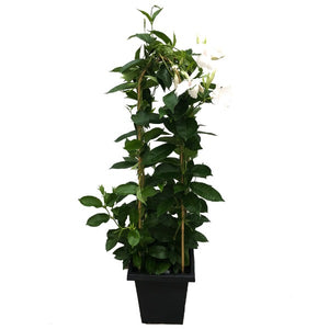 Mandevilla 'Giant Pure White', With 4ft Trellis