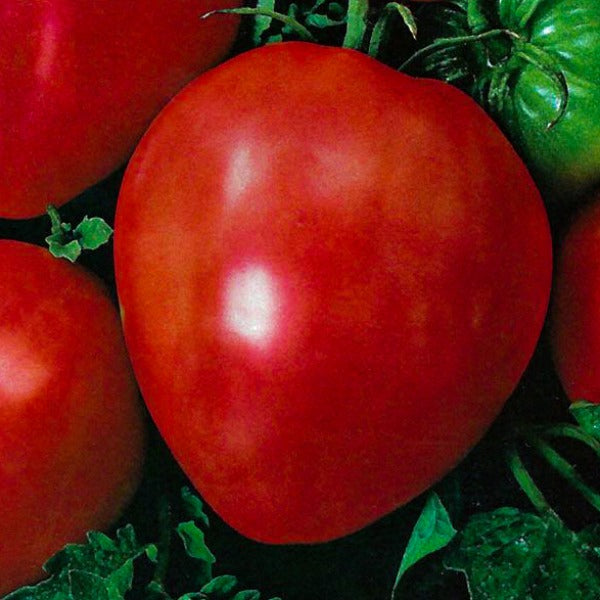 Tomato Oxheart Red, Colour Paradise, Kitchener Waterloo
