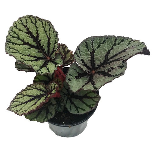 Begonia Rex Fedor, Colour Paradise, Kitchener Waterloo