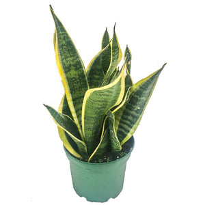 Sansevieria, Colour Paradise, Kitchener Waterloo