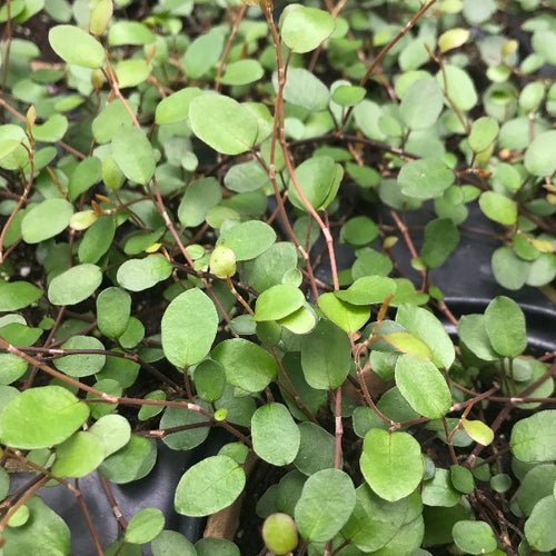 Creeping Wire Vine, muehlenbeckia Axillaris, Colour Paradise, Kitchener Waterloo