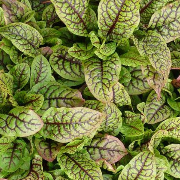 Rumex Raspberry Dressing