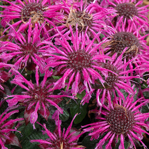 Monarda Balmy Purple, Colour Paradise, Kitchener Waterloo