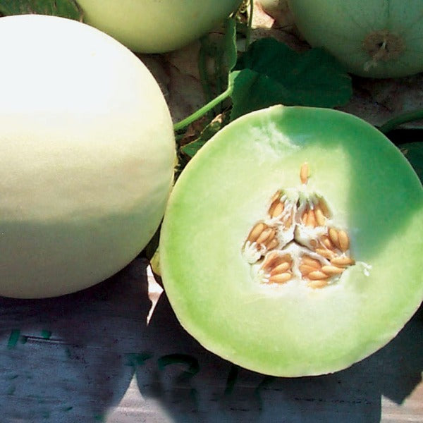 Melon 'Snow Mass'