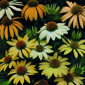 Echinacea Mellow Yellows, Colour Paradise, Kitchener Waterloo
