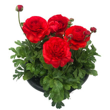 Load image into Gallery viewer, Ranunculus Bowls, Assorted
