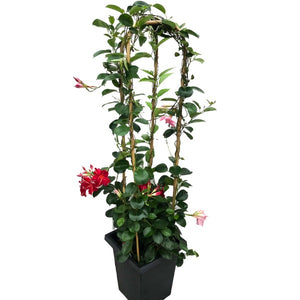 Mandevilla 'Four Colour Mix', With 4ft Trellis