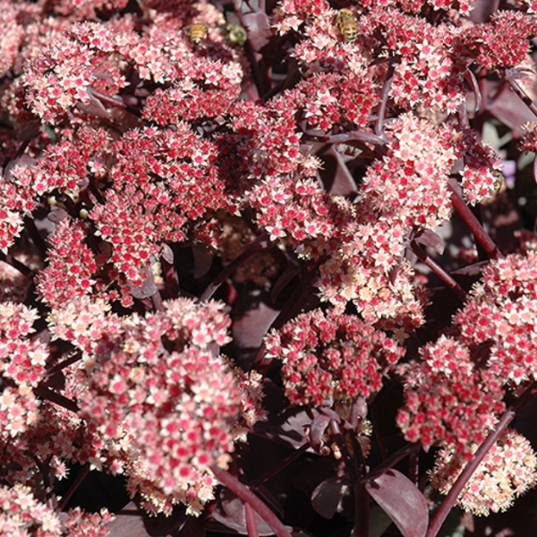 Sedum Vera Jameson, Colour Paradise, Kitchener Waterloo
