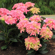 Load image into Gallery viewer, Hydrangea Venice, Colour Paradise, Kitchener Waterloo