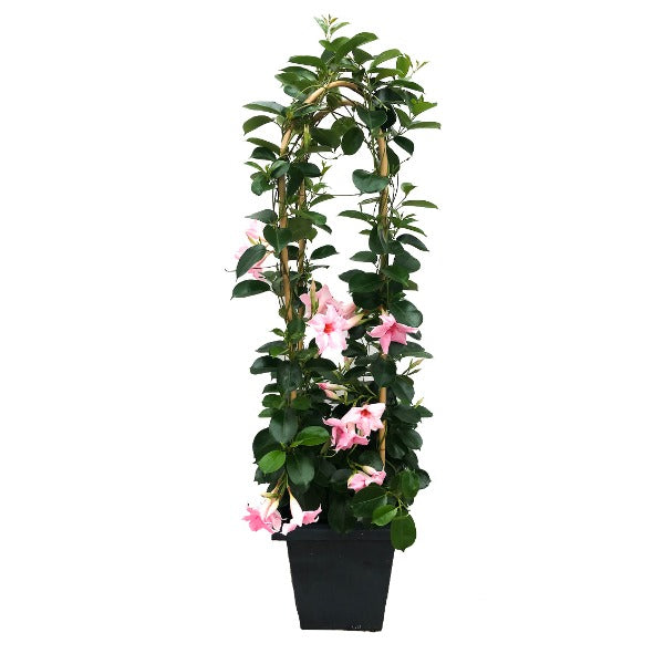 Mandevilla 'Original Cream Pink', With 4ft Trellis