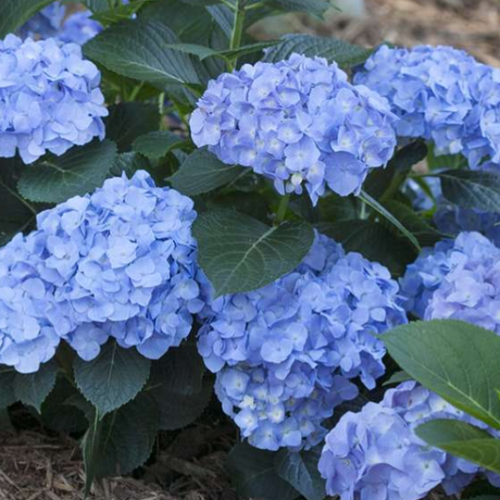 Hydrangea Blue Jangles, Colour Paradise, Kitchener Waterloo