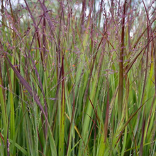 Load image into Gallery viewer, Panicum virgatum 'Shenandoah'