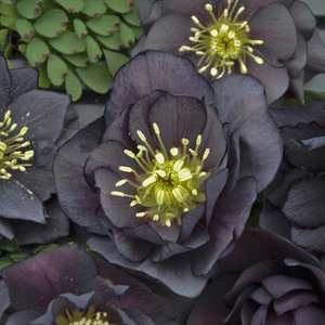 Helleborus Dark and Handsome, Colour Paradise, Kitchener Waterloo