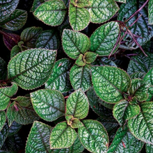 Load image into Gallery viewer, Pilea 'Moon Valley'