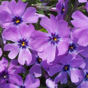 Phlox Subulata 'Purple Beauty'