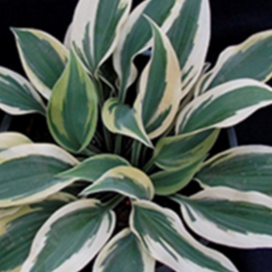 Hosta Sleeping Star, Colour Paradise, Kitchener Waterloo