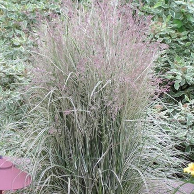 Calamagrostis Overdam, Colour Paradise, Kitchener Waterloo