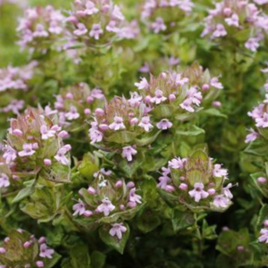 Thyme 'Rose Scent'