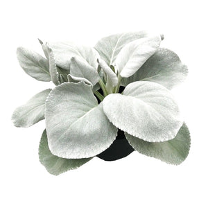 Auricule Dusty Miller 'Angel Wings'