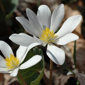 Sanguinaria canadensis, bloodroot, Colour Paradise, Kitchener Waterloo
