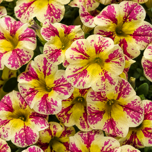 Calibrachoa Holy Moly,  Colour Paradise, Kitchener Waterloo