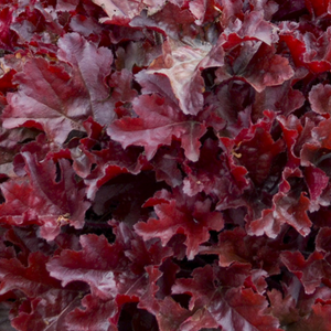 Heuchera Cherry Truffles, Colour Paradise, Kitchener Waterloo