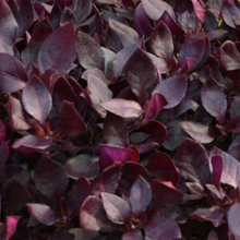 Load image into Gallery viewer, Alternanthera 'Choco Chili'