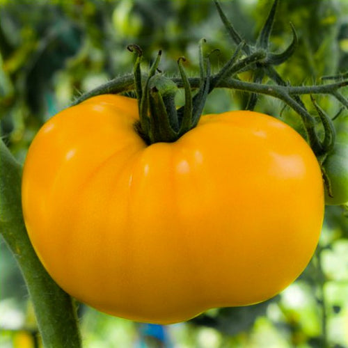 Tomato Brandywine Yello, Colour Paradise, Kitchener Waterloo