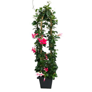 Mandevilla 'Two Colour Mix', With 4ft Trellis