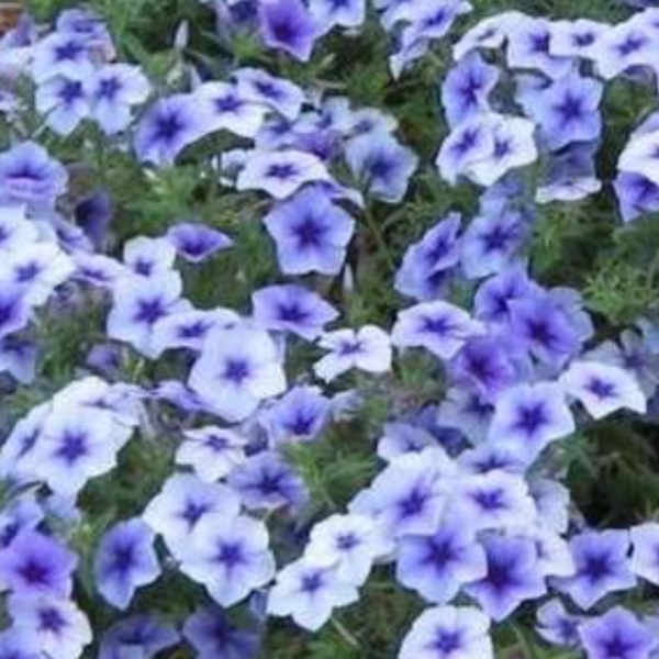 Phlox 'Blue Star'