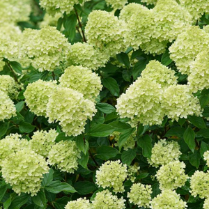 Hydrangea Little Lime, Colour Paradise, Kitchener Waterloo