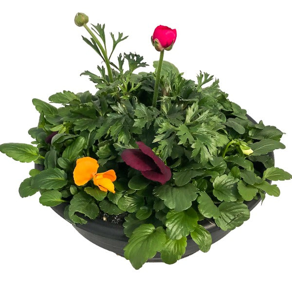 Pansy with Ranunculus, Bowls, Assorted