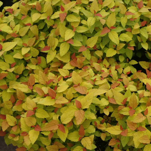Spiraea Double Play Candy Corn, COlour Paradise, Kitchener Waterloo