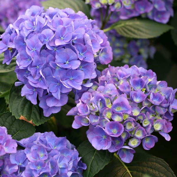 Hydrangea Cityline Rio, Colour Paradise, Kitchener Waterloo