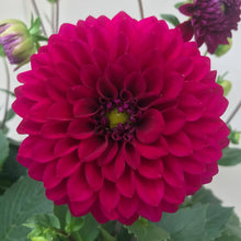 Load image into Gallery viewer, Dahlia Royal Purple, Colour Paradise, Kitchener Waterloo