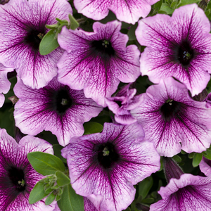 Supertunia 'Bordeaux'