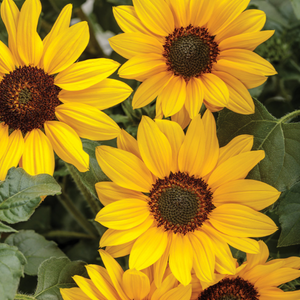 Helianthus 'Suncredible Yellow'