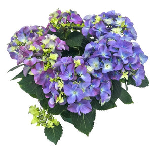 Hydrangea, Colour Paradise, Kitchener Waterloo