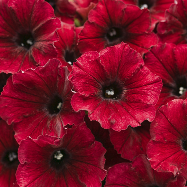Supertunia 'Black Cherry'