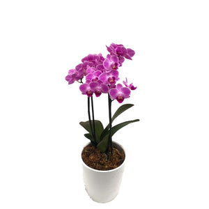 Potted Orchid, Assorted Colours